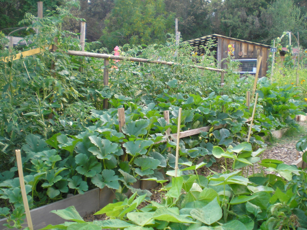 A plot, out of four, that J and I had for the summer of 2015 for gardening.