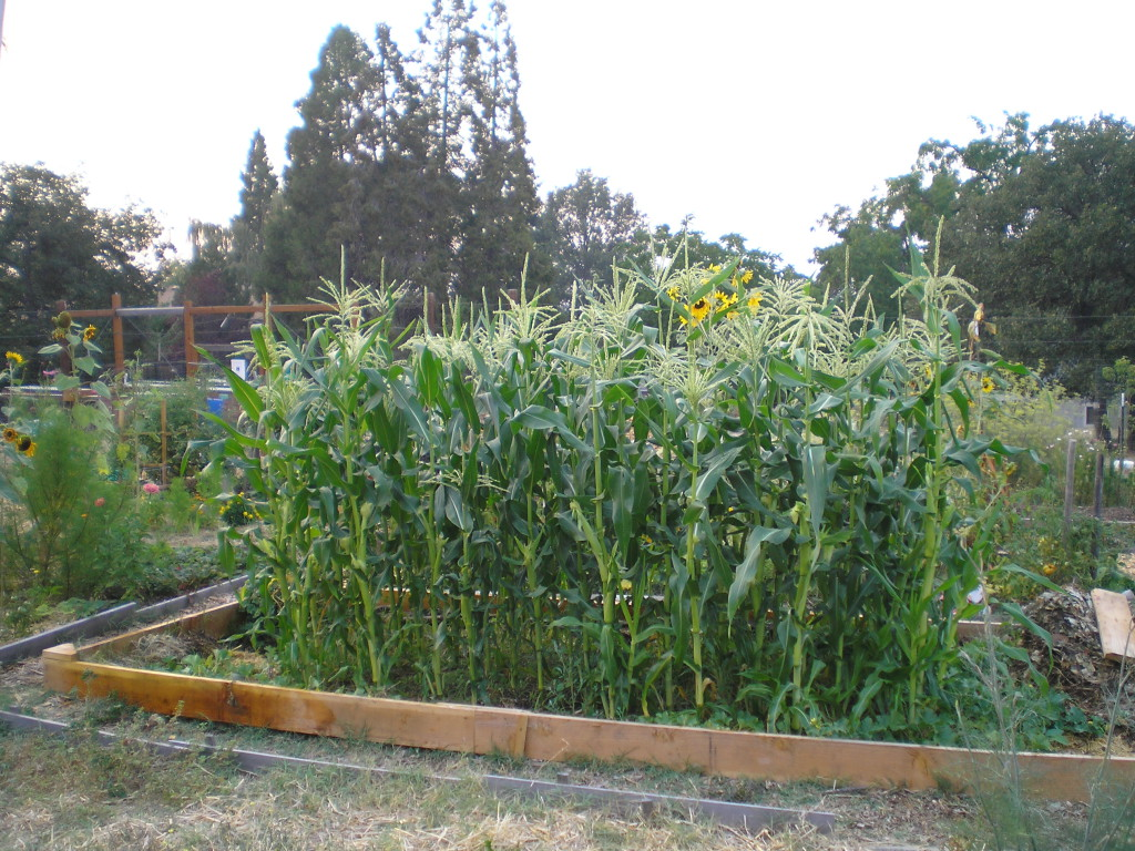 The corn, melons, and compost pile, summer garden 2015.