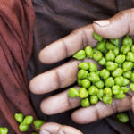Hands of bean and peas seller, Varanasi Benares India