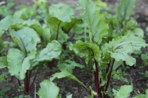 Beets growing at Halstead Farm